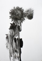 https://fredericmalette.com:443/files/gimgs/th-97_Frederic Malette-TOURNESOL-graphite-42x59,4cm-2016-Nantes-3.jpg